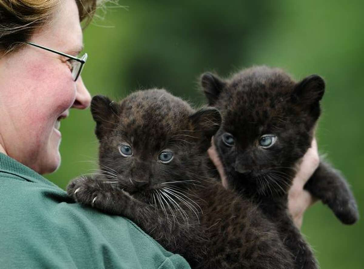Newly born Black Panther twins Baturgai and Ormilia are presented to media by zoo keeper Angelika Berkling (L) at east Berlin's zoological garden