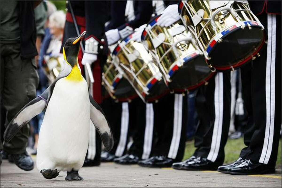 'Nils Olav' the penguin receives his knighthood from the Nowegian King's Guard at the Edinburgh zoo. A penguin called Nils waddled into the history books when he was knighted by a visiting royal Norwegian regiment in Scotland. The king penguin -- full name Nils Olav -- became the first black-and-white pint-sized Norwegian Sir with wings after inspecting the Norwegian King's Guard, over for Edinburgh's annual Military Tattoo.