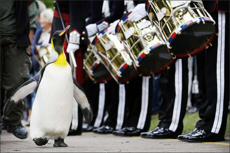 'Nils Olav' the penguin receives his knighthood from the Nowegian King's Guard at the Edinburgh zoo. A penguin called Nils waddled into the history books when he was knighted by a visiting royal Norwegian regiment in Scotland. The king penguin -- full name Nils Olav -- became the first black-and-white pint-sized Norwegian Sir with wings after inspecting the Norwegian King's Guard, over for Edinburgh's annual Military Tattoo. Photo: Getty Images / Getty Images