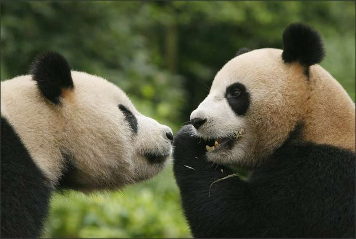 Tuantuan (R) and Yuanyuan, the two giant pandas to be sent to Taiwan, play at the Bifengxia base of the China Giant Panda Protection and Research Center in Yaan, China. The two pandas will live at the Taipei City Zoo after the island's forestry bureau approves the transfer.