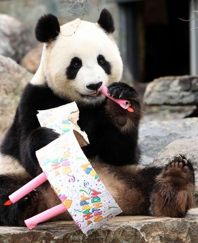 Funi the Panda enjoys eating her birthday cake to celebrate her first Australian birthday at Adelaide Zoo in Adelaide, Australia.
