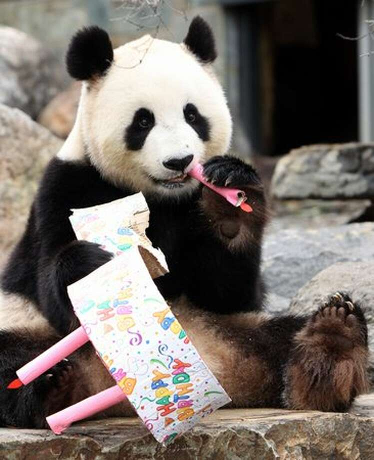 Funi the Panda enjoys eating her birthday cake to celebrate her first Australian birthday at Adelaide Zoo in Adelaide, Australia. Photo: Getty Images / Getty Images