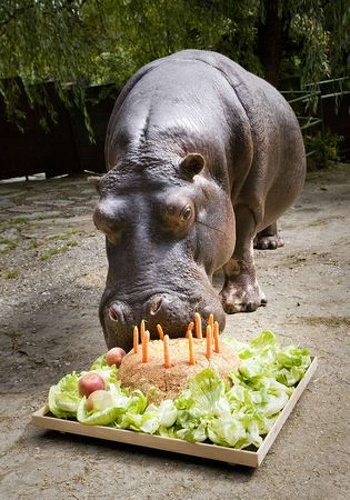 Female hippopotamus 'Tana' enjoys her 50th birthday cake made of salad, carrots and concentrated feed at the Opel-Zoo in Kronberg near Frankfurt/M., western Germany.