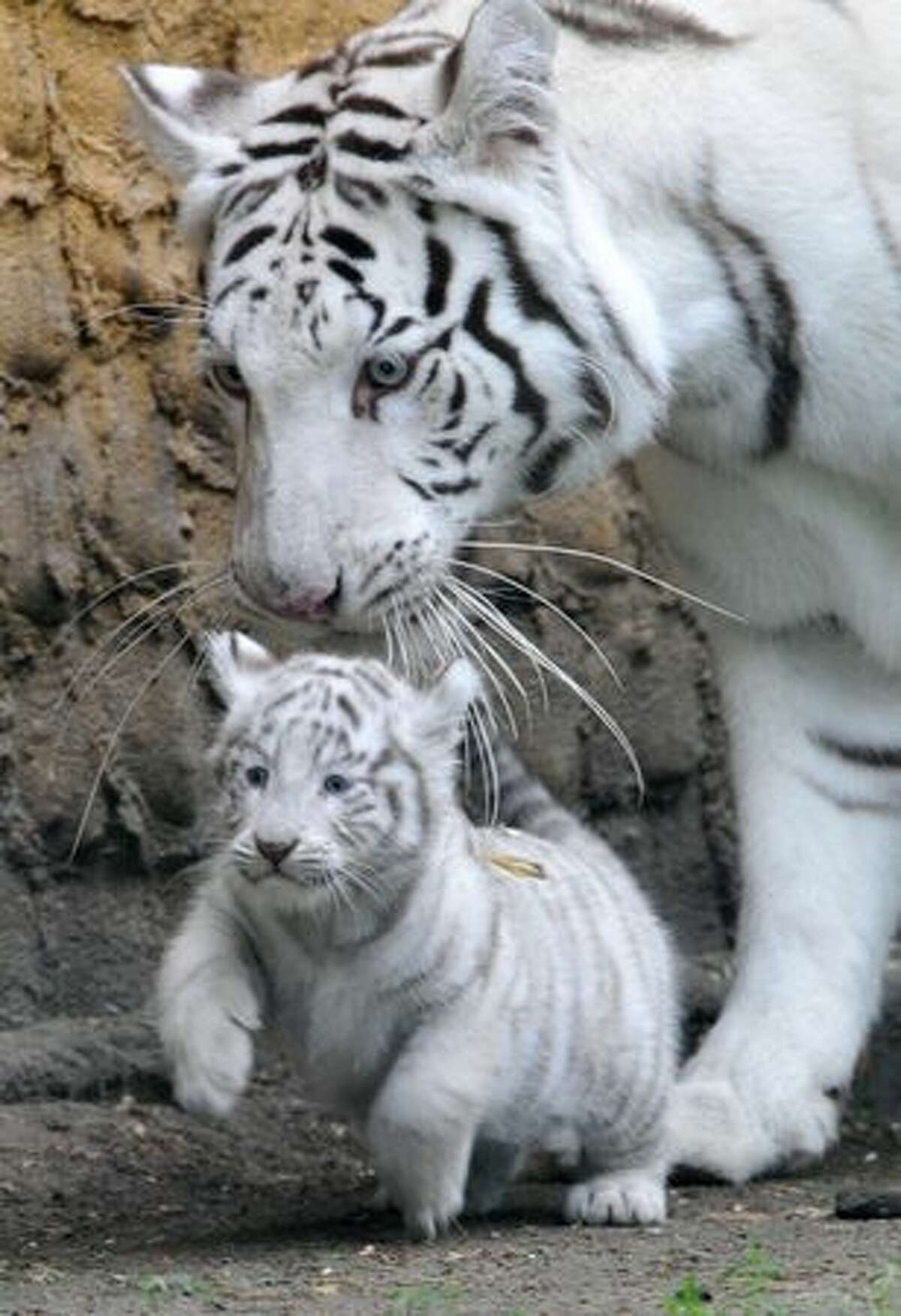 A white tiger cub is carried by its mother Bianca at the Serengeti animal park in Hodenhagen, central Germany. Four white baby tigers were born at the park on July 14, 2010.