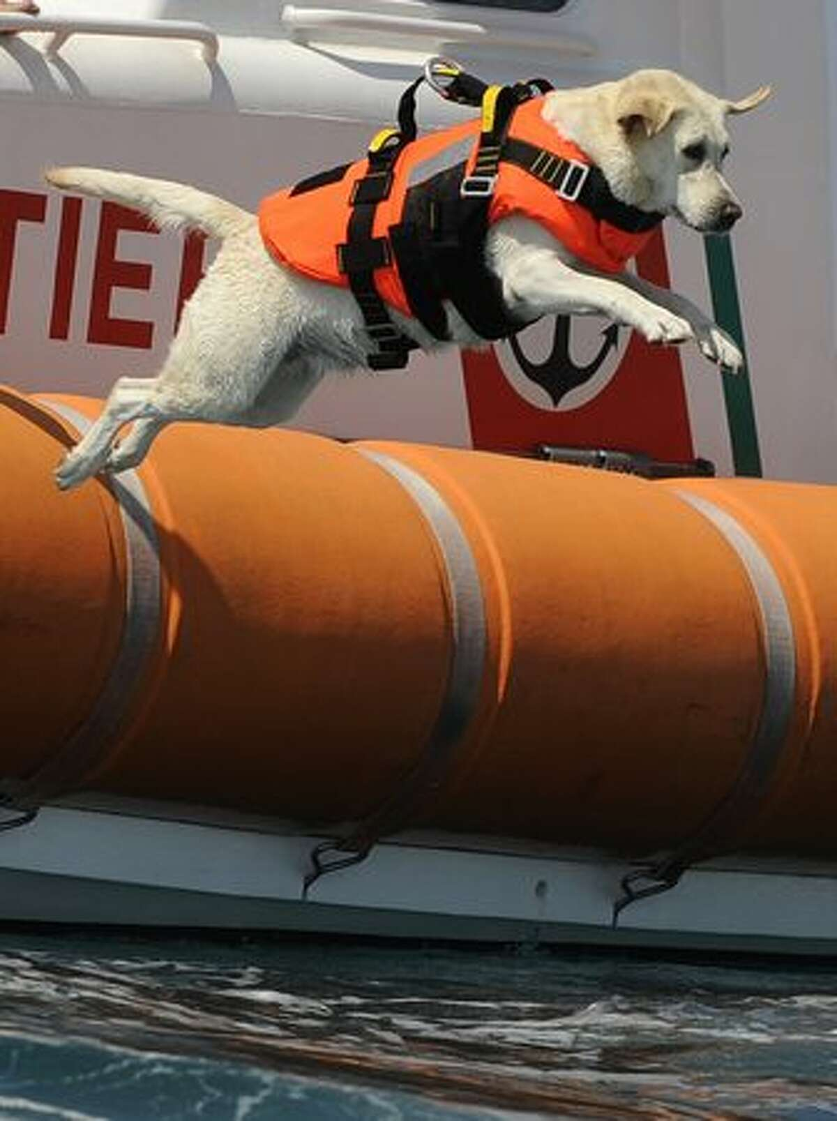 A labrador dog plunges into the sea during a patrol at Riva dei Tarquini in the Tyrrhenian Sea about 100kms north of Rome. This summer, Italy discovered a special squad of rescue workers: some 300 dogs ready to help save lives on dozens of Italian beaches.
