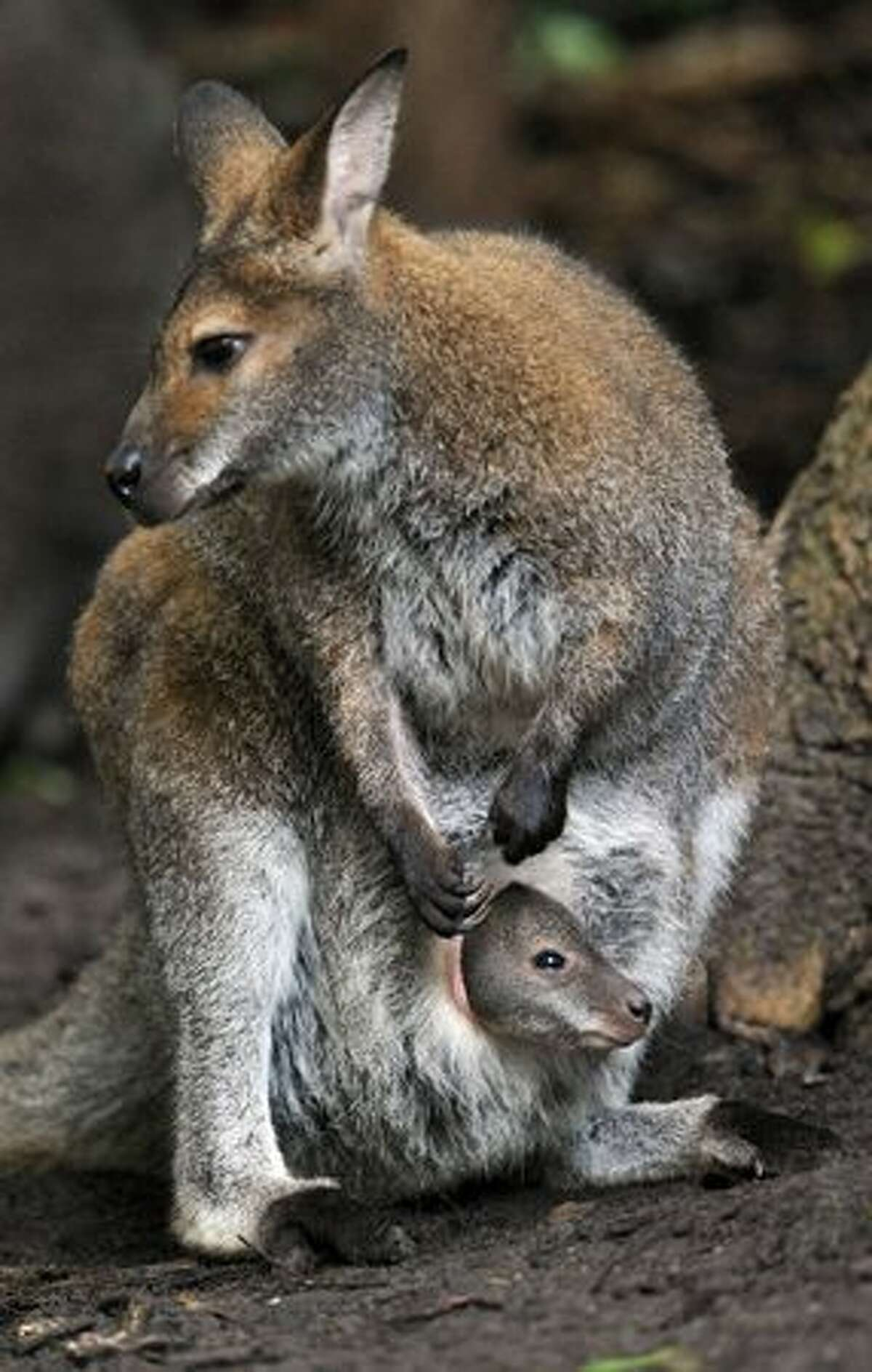 A little Red-necked Wallaby (Macropus rufogriseus) peers out of its mother Bertha's pouch at the zoo in Hanover, central Germany.