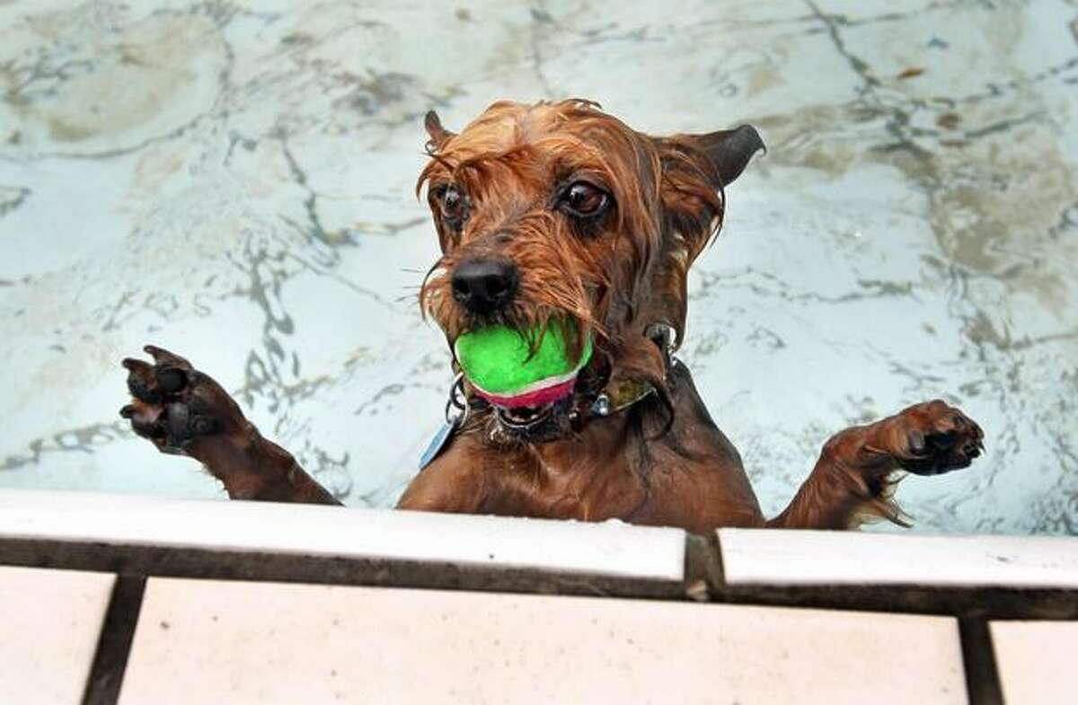 Daisy, a Yorkshire Terrier, has caught a ball in a swimming pool in Amsterdam.