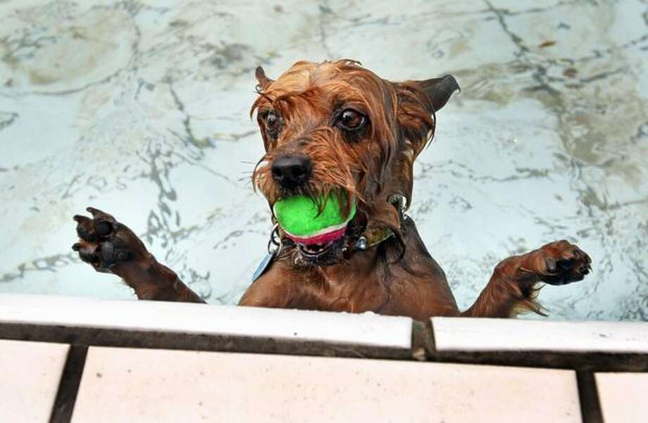 Daisy, a Yorkshire Terrier, has caught a ball in a swimming pool in Amsterdam. Photo: Getty Images / Getty Images