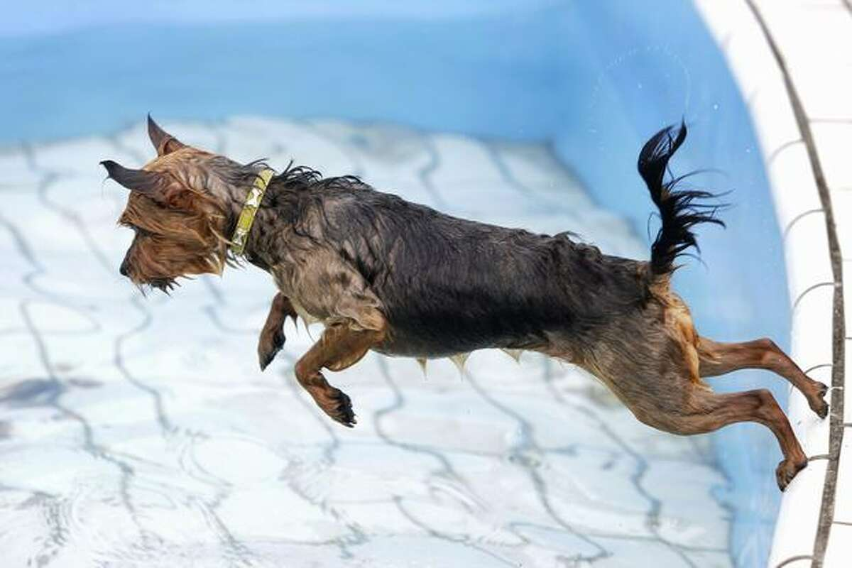 Daisy, a Yorkshire Terrier, take a dive in a swimming pool in Amsterdam.