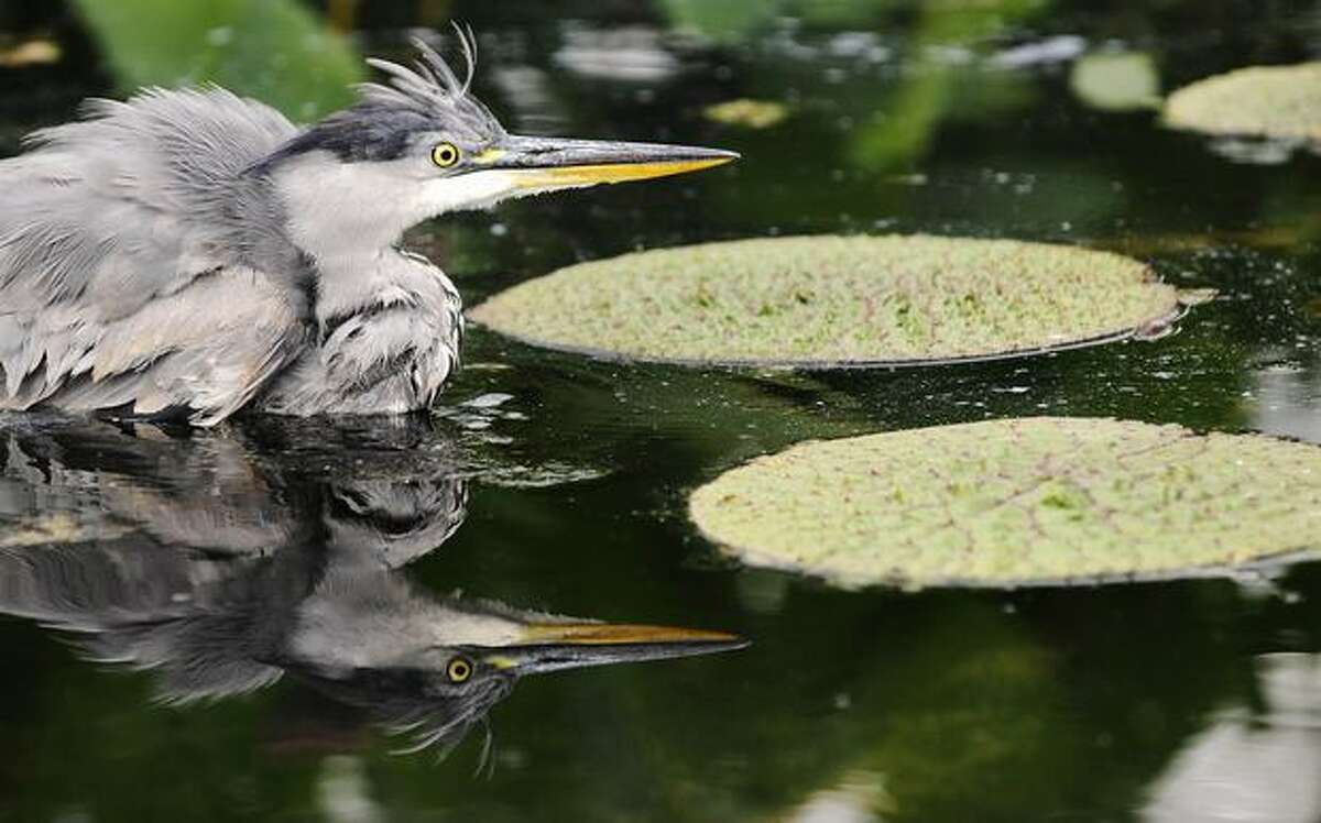 A grey heron swims in a pond at the