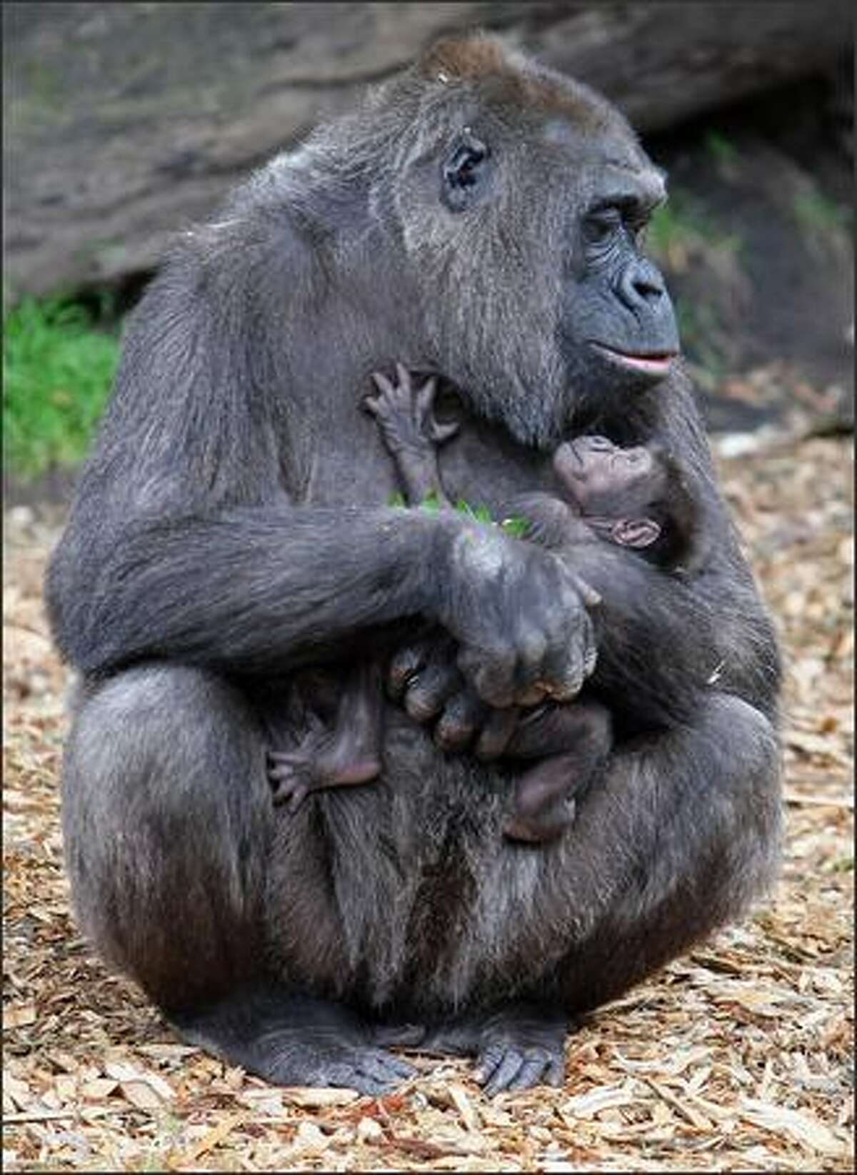 Western Lowland gorilla 'Mouila' cradles her ten-day-old baby 'Mahale' during his first public appearance at Taronga Zoo in Sydney. 'Mahale', which means 'an event' in Swahili, reflects the success of Taronga's breeding and research programmes with endangered wildlife.
