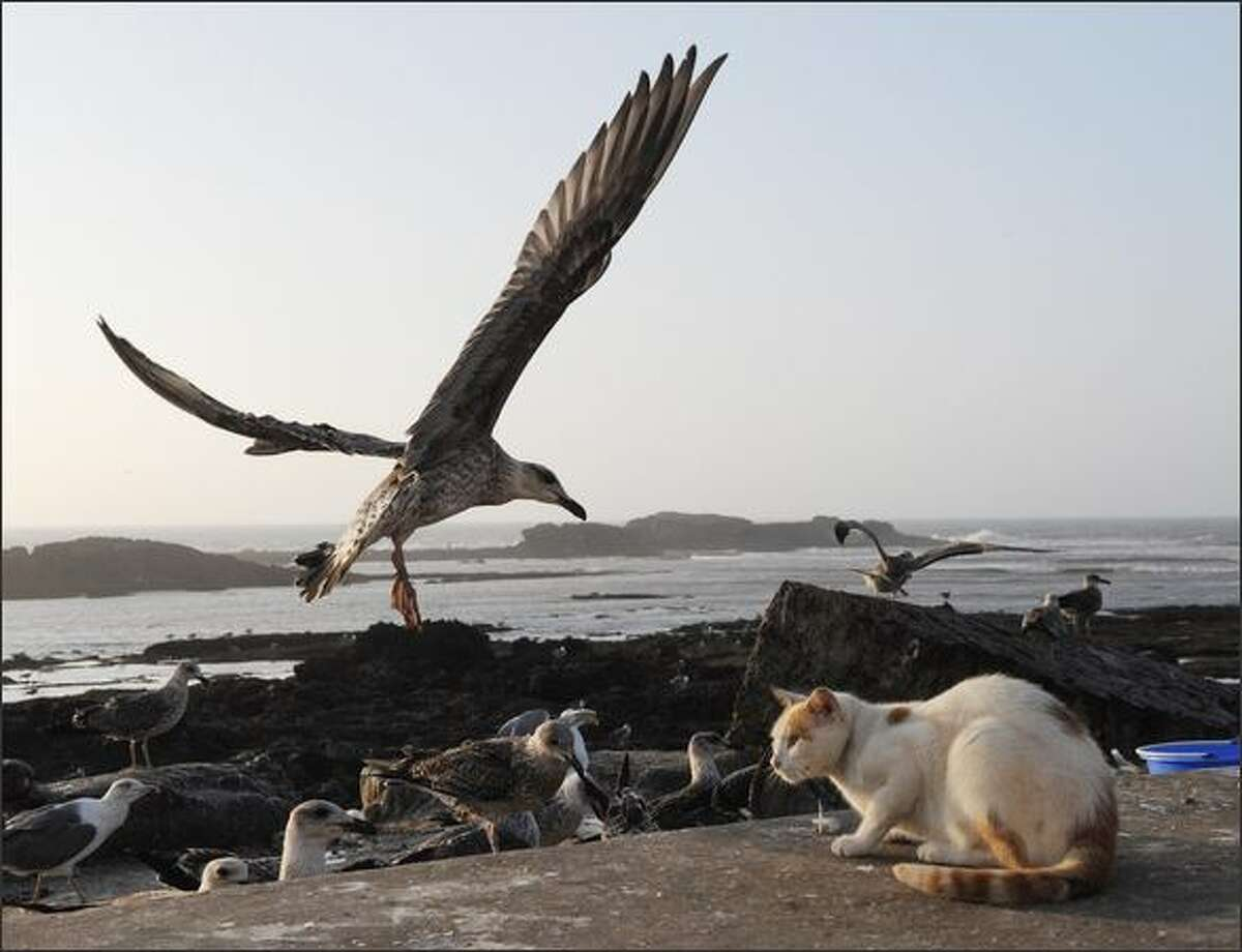 Seagulls are pictured next to a cat at the Essaouira port, soutwestern Morocco.