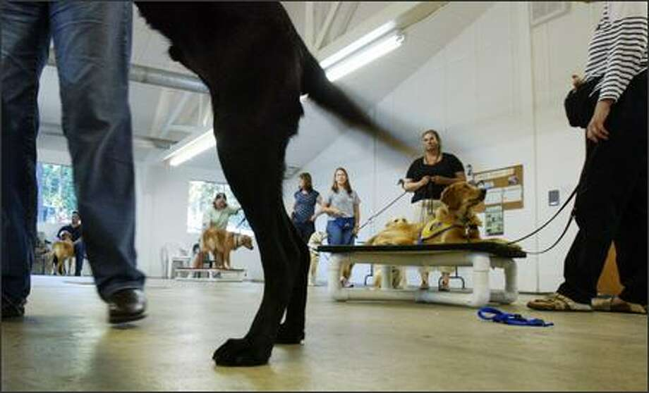 Dogs and their trainers practice some moves at a Canine Companions for Independence class at Cascade Kennels on Wednesday in Woodinville. After up to 18 months of basic training, the dogs go through six months of advance training with Companions for Independence, which then matches them with partners. Photo: Karen Ducey, Seattle Post-Intelligencer / Seattle Post-Intelligencer