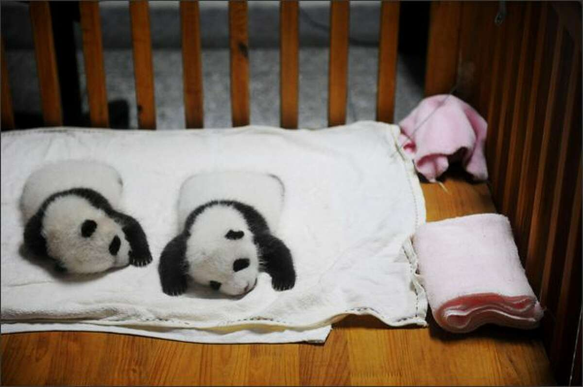Giant panda cubs sleep in a breeding room at the Chengdu Research Base of Giant Panda Breeding in Chengdu of Sichuan Province, China. Chengdu Research Base of Giant Panda Breeding is aimed to increase the captive population of giant pandas and ultimately to reintroduce giant pandas to the wild, with the help of artificial breeding.