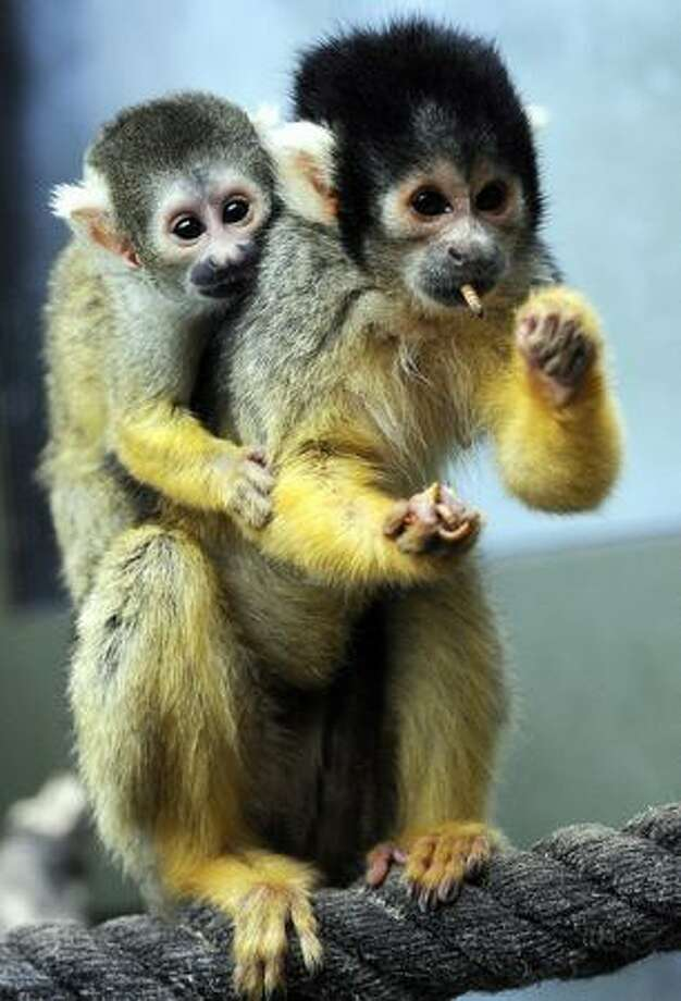 A squirrel monkey eats a worm while carrying one of her babies on her back at the zoo in Osnabrueck, where she gave birth recently to four little monkeys. Squirrel monkeys usually live in the tropical forests of Central and South America. Photo: Getty Images / Getty Images