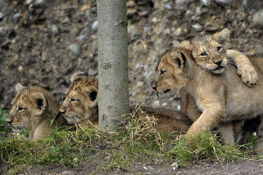 Four lion cubs Kuwam, Kalika, Keladi and Kanya play during their official presentation at the Zurich zoo. Photo: Getty Images / Getty Images