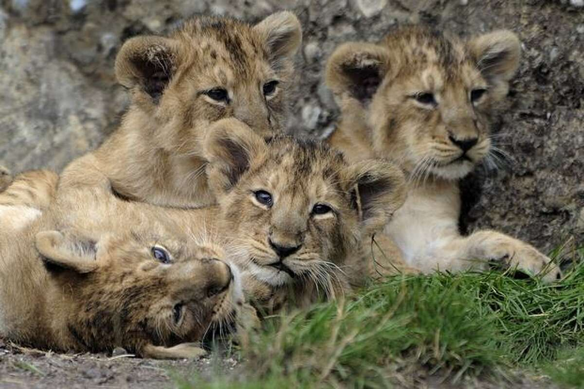 Kuwam, Kalika, Keladi and Kanya, the four cubs of the Indian lioness Joy, play during their official presentation on at the Zurich's zoo.