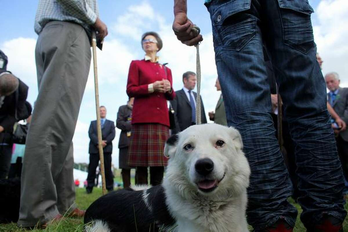 Princess Anne, wearing Team GB Olympic sunglasses, watches the International Sheep Dog Trials in Penrith, England.