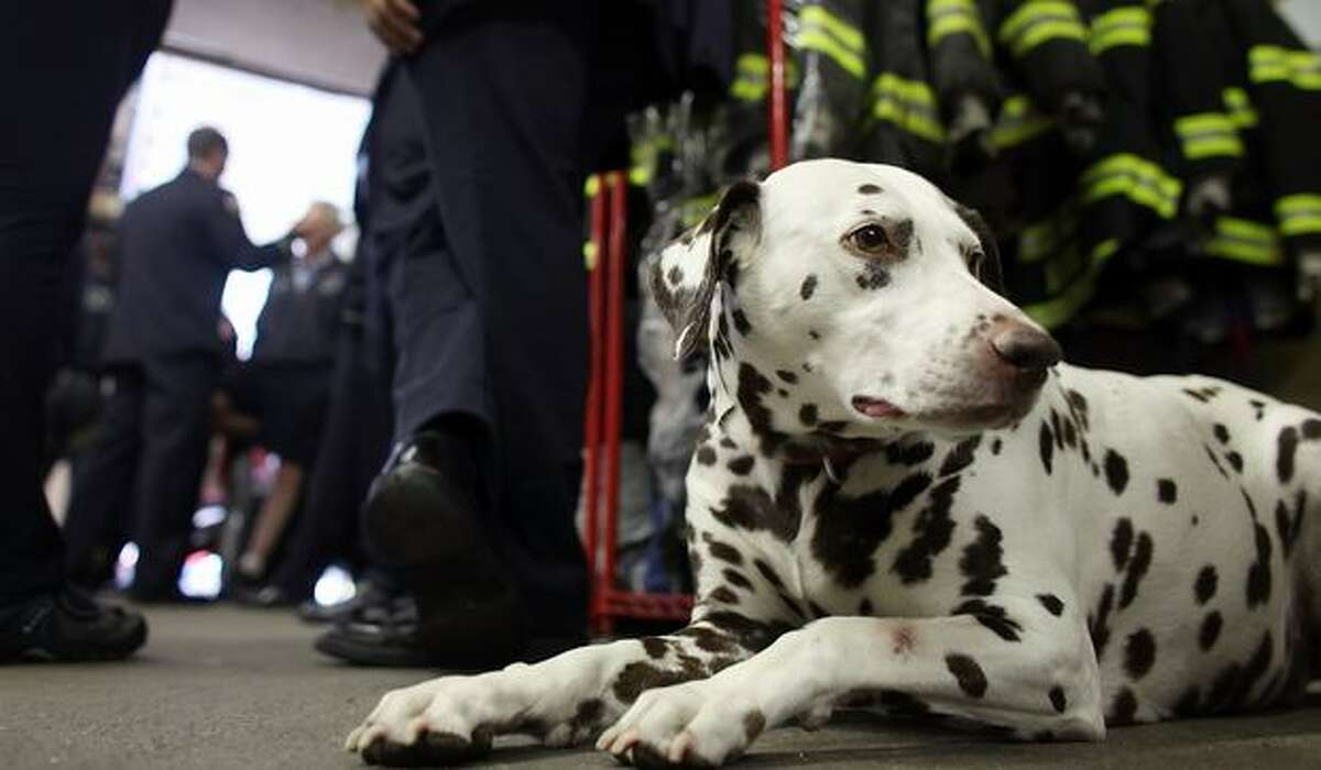 Dalmatian mascot 'Twenty' looks on as firefighters take a break between ceremonies at FDNY Ladder 20 Engine 13 in New York City.