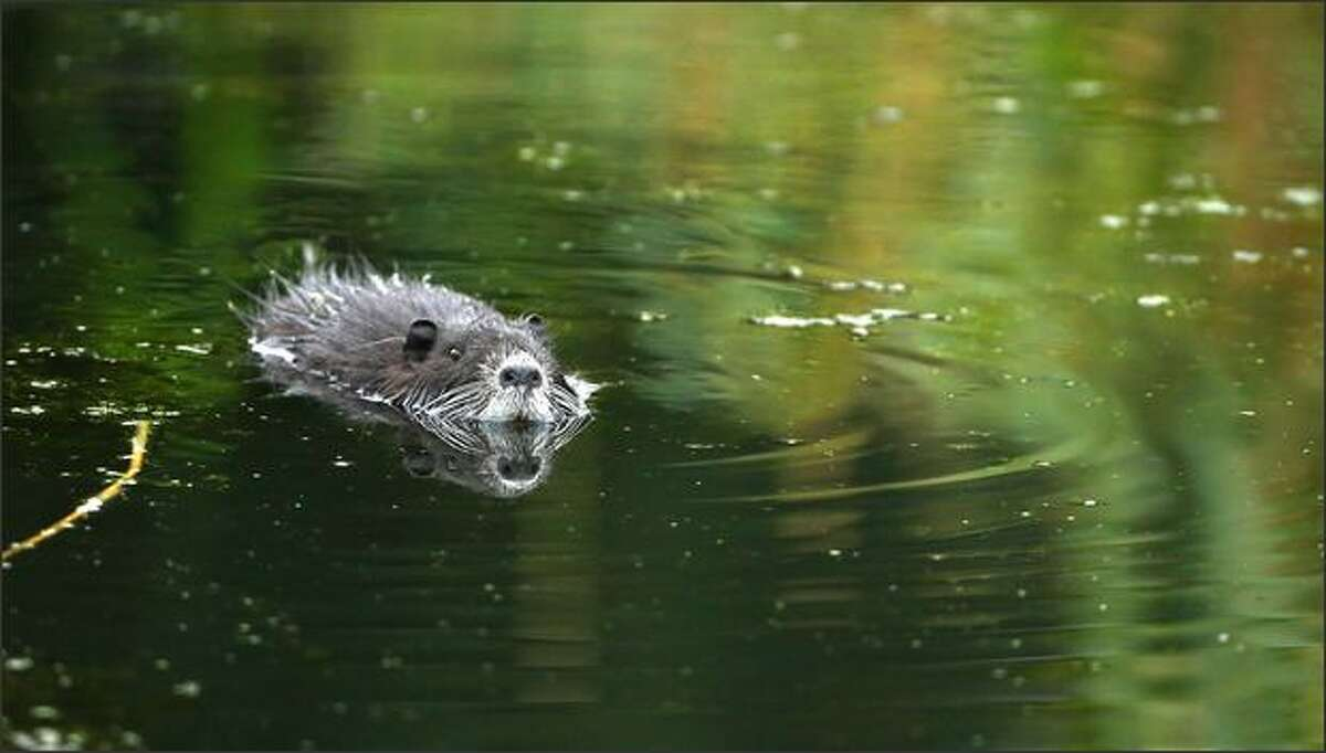 A beaver swims in a lake on the course during the second round of The Mercedes-Benz Championship at The Gut Larchenhof Golf Club, in Pulheim, near Cologne, Germany.