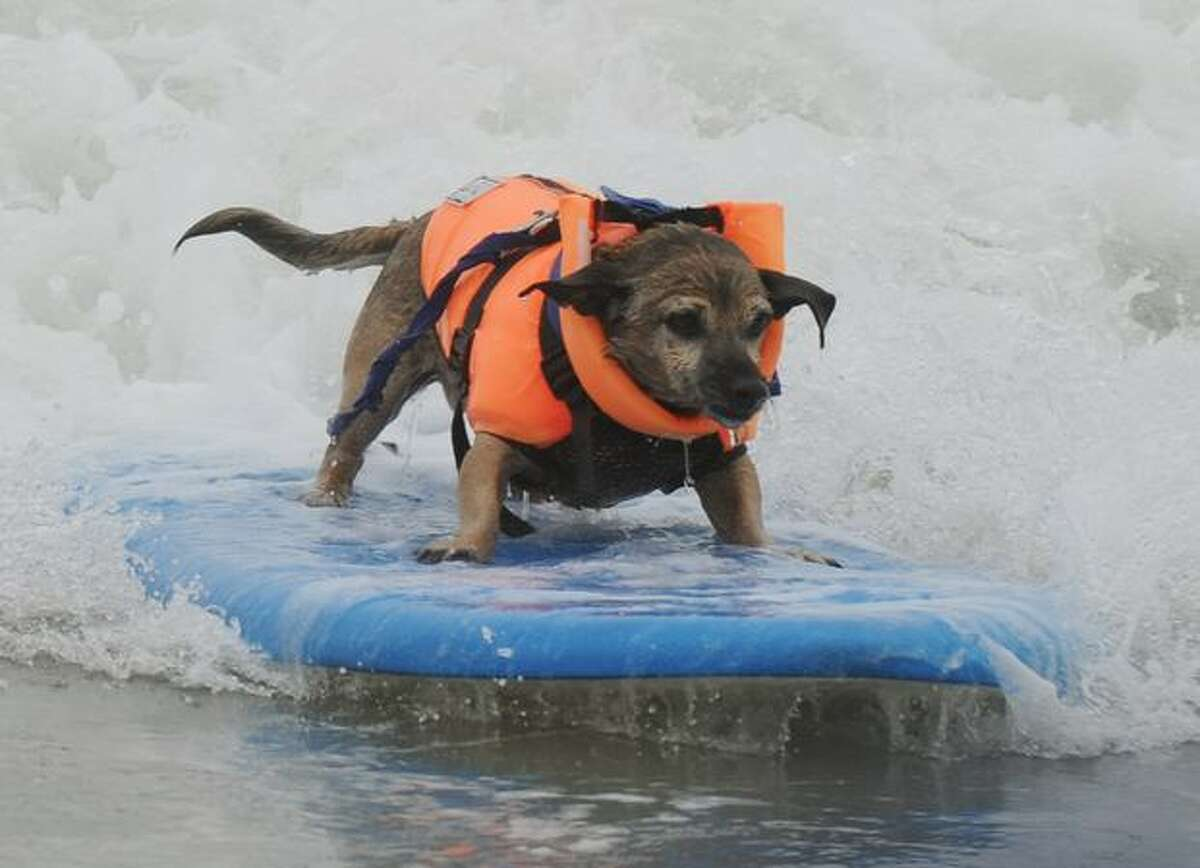 A surf dog rides a wave to the beach during the annual Surf City Surf Dog competition at Huntington Beach in California.
