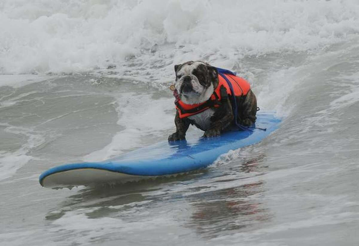 Surf dog Hollywood rides a wave to the beach during the annual Surf City Surf Dog competition at Huntington Beach in California.