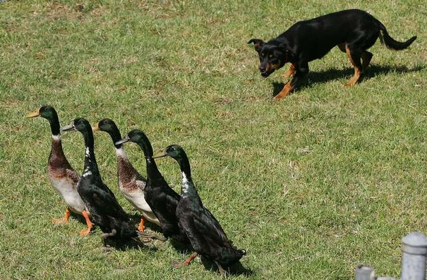 A dog rounds up ducks during the Duck Herding exhibition at the 2009 Royal Melbourne Show held at Melbourne Showgrounds in Melbourne, Australia.