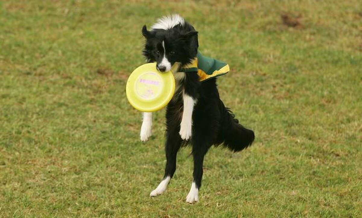 A border collie flies through the air as he catches a frisbee in his mouth during the Frisbee Dogs exhibition at the 2009 Royal Melbourne Show held at Melbourne Showgrounds.