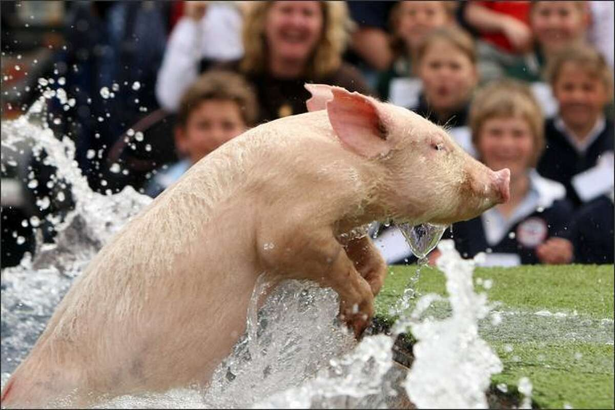 A pig exits the water during the Pig Racing and Diving show the 2008 Royal Melbourne Show at the Melbourne Showgrounds in Melbourne, Australia.