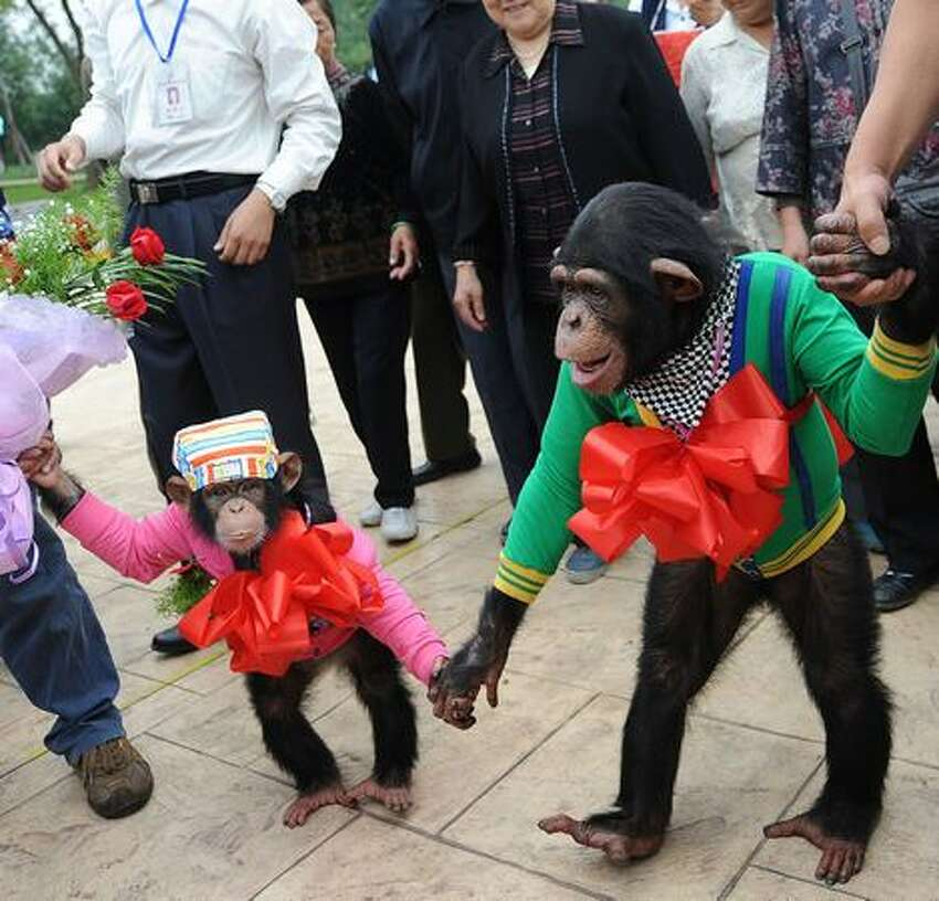 Four-year-old male chimpanzee Yangyang (L) holds the hand of six-year-old female chimpanzee Wan Xing as they get married at a zoo in Hefei, in east China's Anhui province.