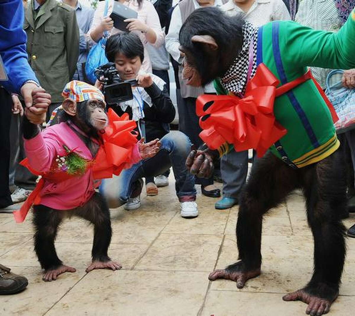 Four-year-old male chimpanzee Yangyang (L) looks at six-year-old female chimpanzee Wan Xing as they get married at a zoo in Hefei, in east China's Anhui province.