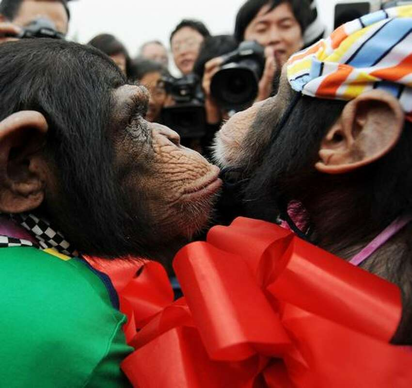 Six-year-old female chimpanzee Wan Xing (L) kisses four-year-old male chimpanzee Yangyang as they get married at a zoo in Hefei, in east China's Anhui province.