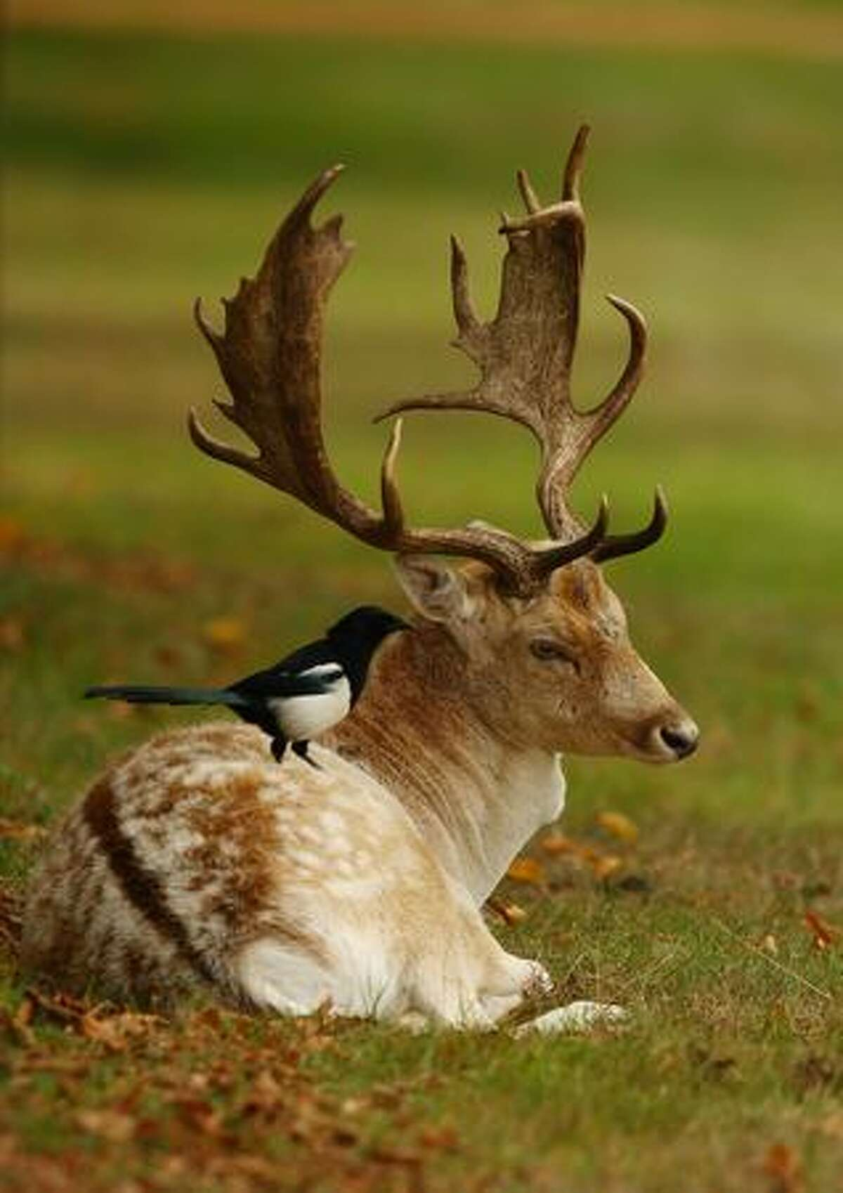 A magpie perches on a stag resting at Hampton Court Palace Golf Course while golfers compete in the Crown Golf English PGA Assistants' Championship final in London, England.