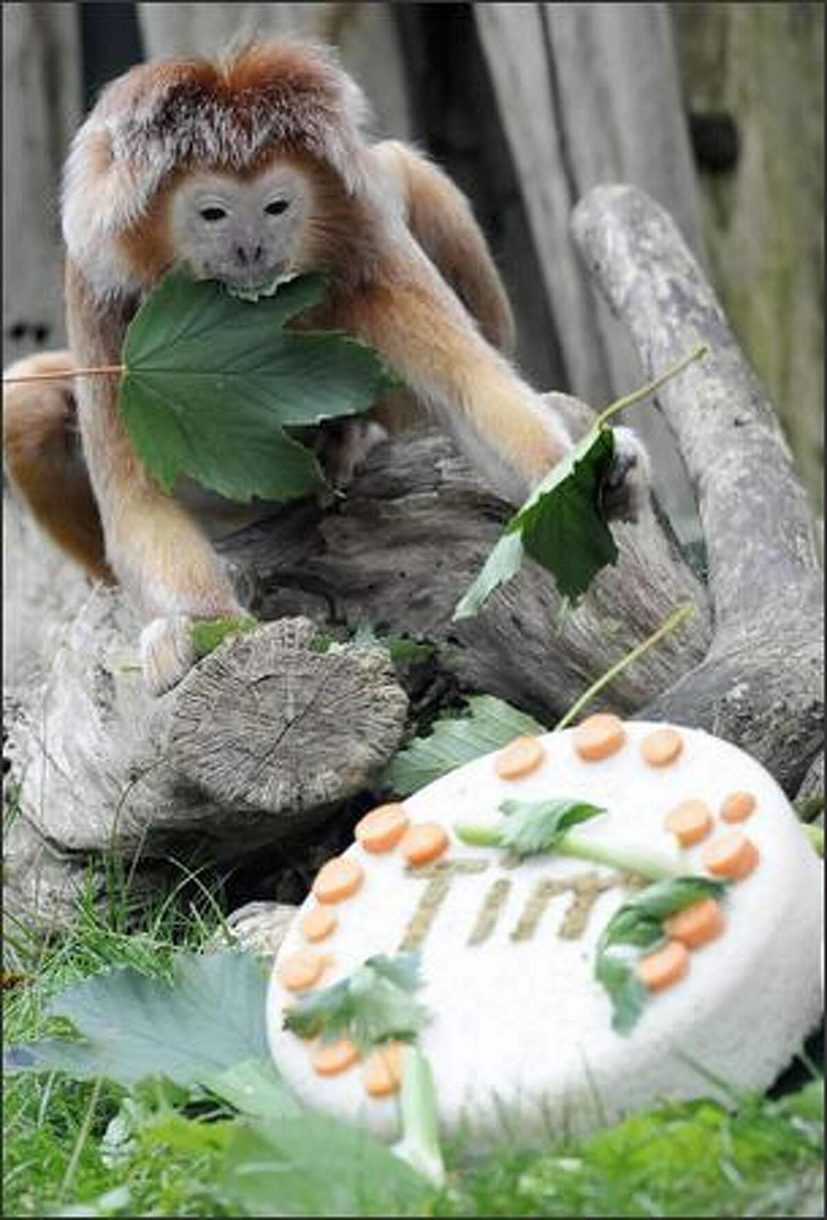 Tim the langur monkey checks out his birthday cake while eating leaves at the zoo in the northern German city of Hanover.The langur monkeys are native of Malaysia, Java, Sumatra and Thailand.