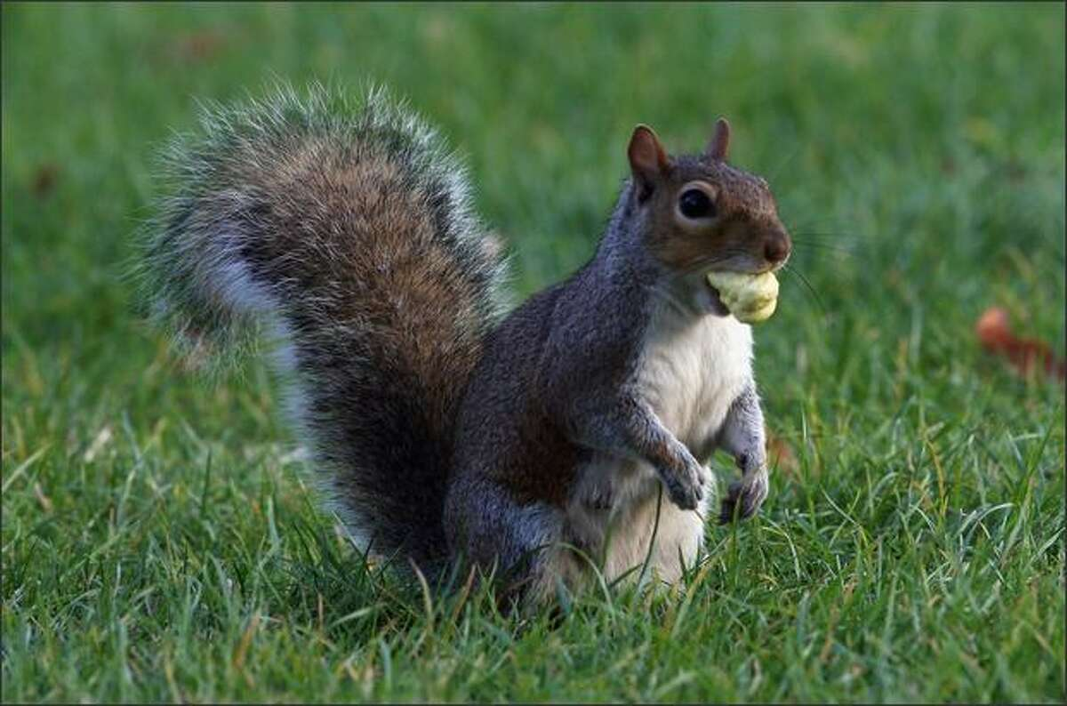A squirrel carries an acorn in it's mouth as leaves begin to turn brown and fall in London's Hyde Park in London, England.