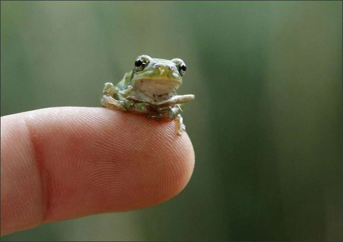 A young European tree frog sits on the finger of a keeper at the zoo in Nuremberg, southern Germany. The zoo is breeding the species and plans to reintroduce them to the wild in Nuremberg and the city's surroundings.