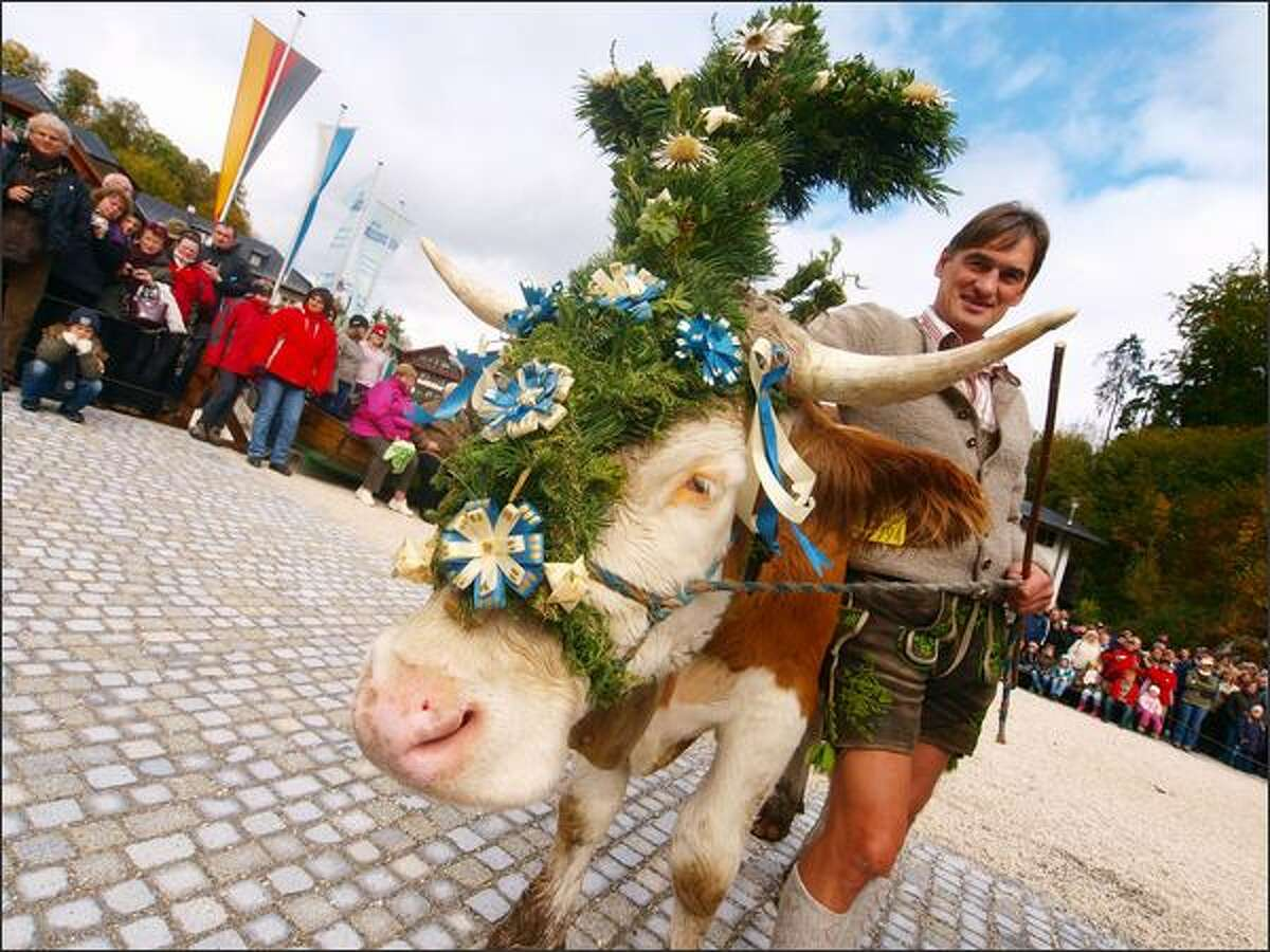 A farmer shows his decorated cow during the ceremonial cattle drive in Schoenau am Koenigsee, Germany. At Schoenau the farmers bring their cattle down from the Alpine meadows and drive them with a boat over the Koenigsee Lake every year in autumn, to stay over the winter in firm stables.