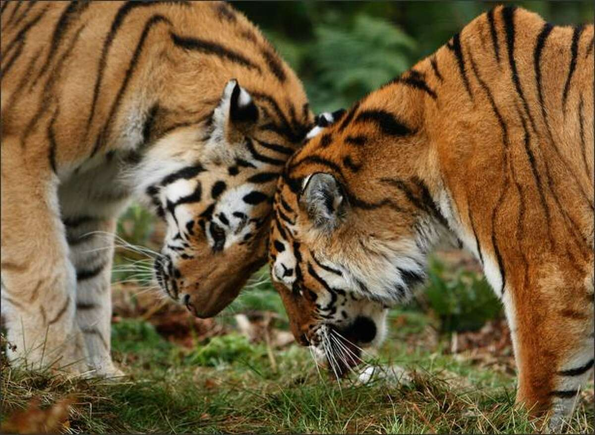 Yuri and Sasha, a pair of rare Amur tigers get fed at their new home the Highland Wildlife Park in Kincraig, Scotland. With only 500 remaining in the wild, it is hoped that the pair will continue to contribute to the worldwide breeding programme, which acts as a safety-net against extinction.