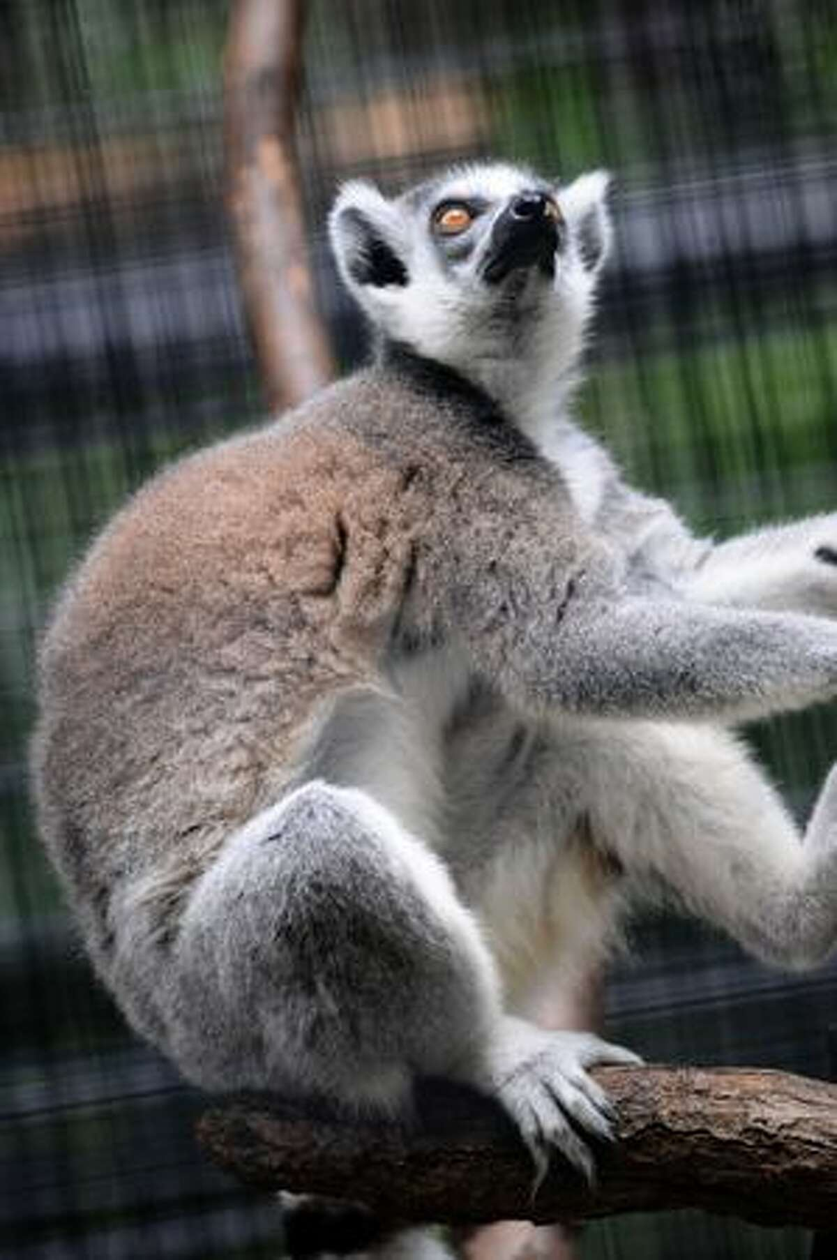 A ring-tailed lemur (Lemur catta) sits on a tree in its enclosure at the zoological gardens in Hong Kong. The ring-tailed lemur is endemic to the island of Madagascar and it can typically live 16 to 19 years in the wild and 27 years in captivity.