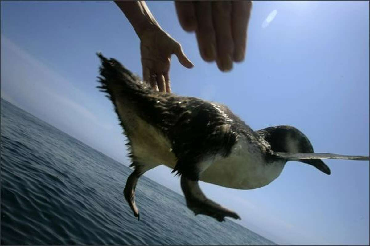A penguin is released from Brazilian Navy ship, during an operation in the Atlantic ocean some 64 kilometers (40 miles) from the coast of Santos, Brazil. Some 100 Magellanic --Spheniscus magellanicus-- penguins were released offshore where they could be dragged by drafts and currents towards the south, where their reproduction colonies are located. The largest reproduction colony of Magellanic penguins is in Punta Tombo, in Argentina's Patagonia.