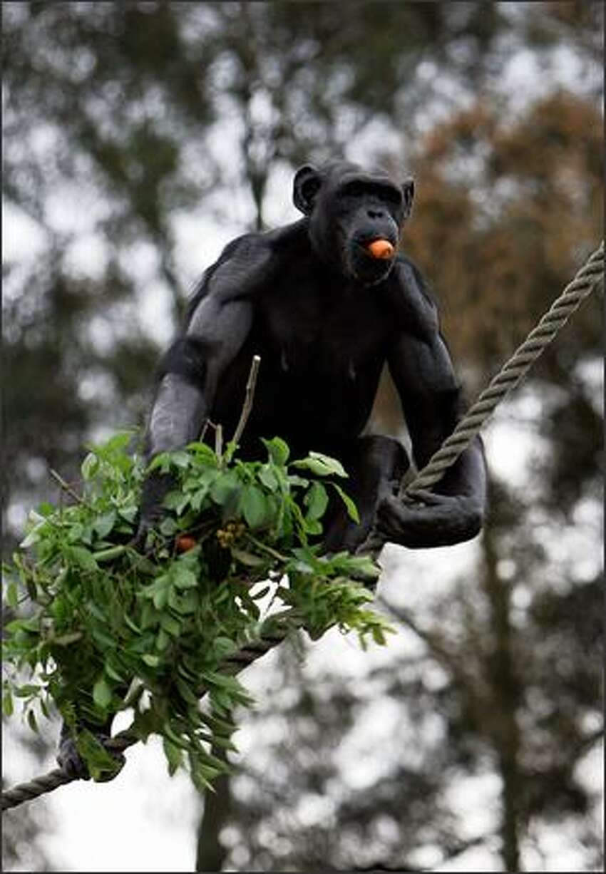 A Chimpanzee climbs a rope after Dr Jane Goodall spoke at Taronga Zoo on in Sydney, Australia. Goodall, the world renowned primatologist, has acknowledged the breeding and work research carried out by the Chimpanzee Group at Taronga Zoo over recent years.