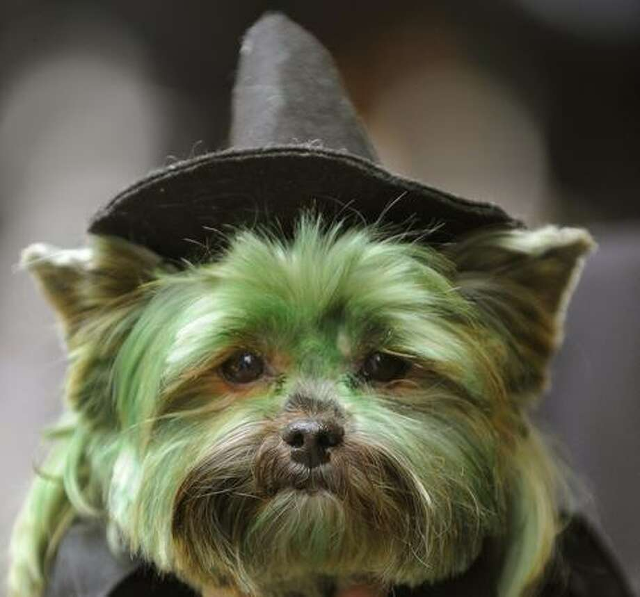 "Petey, the Yorkshire Terrier dressed as ""The Witch from Wicked"" is seen during the Fifth Annual Times Square Dog Day Masquerade October. Photo: Getty Images / Getty Images"