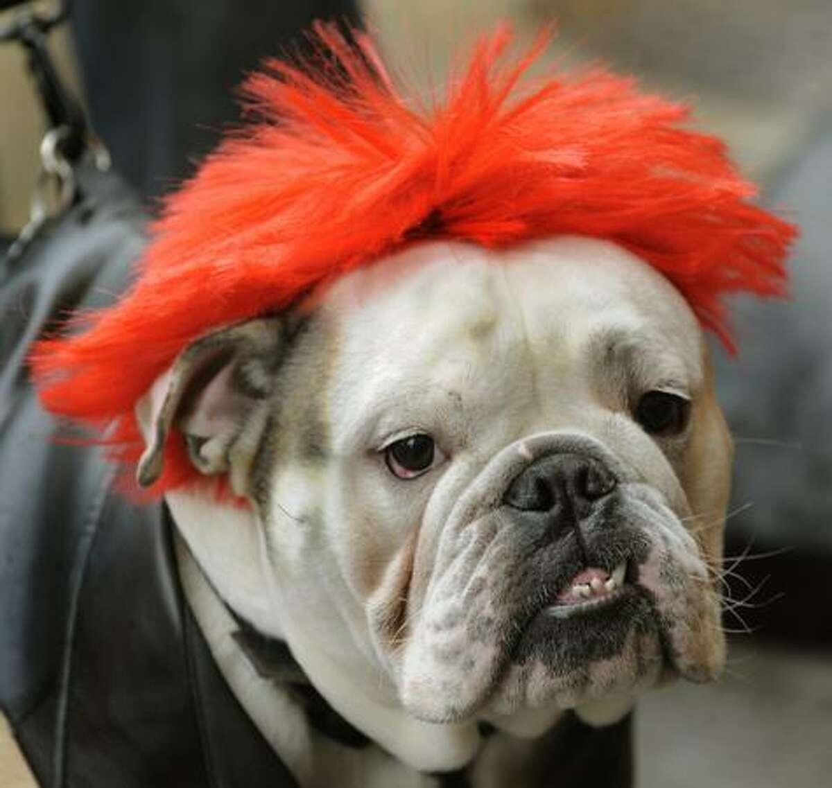 Leo, the bulldog, dressed as a