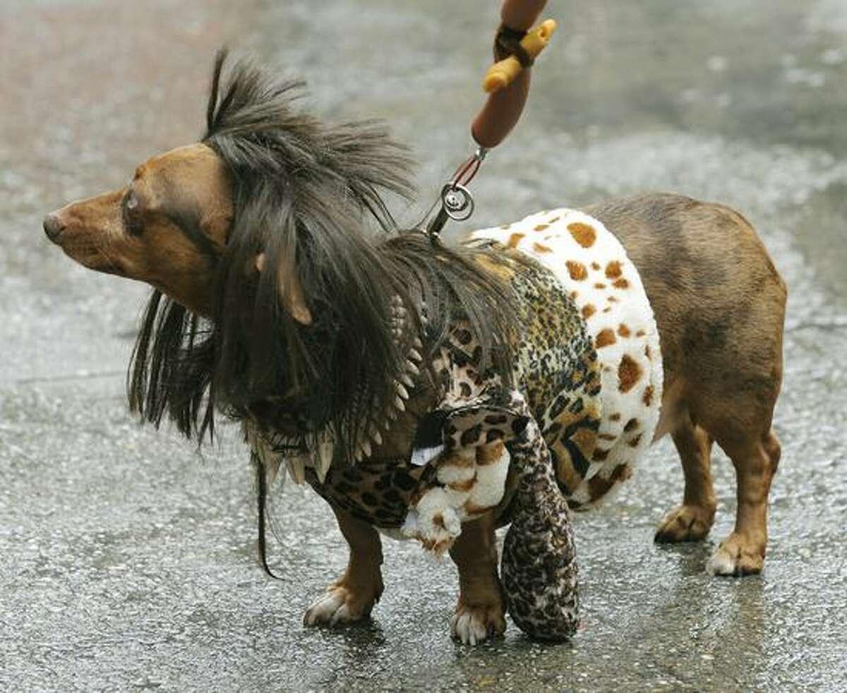 Bosco the Dabble Dashhound, dressed as a