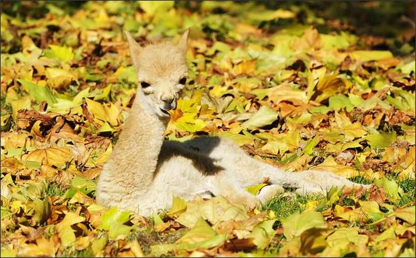 Little vicuna Antonio eats a leaf in his outdoor enclosure at the Zoologischer Garten zoo in Berlin. Antonio was born is the first animal of its species born at the zoo in ten years. Vicunas are wild camelids relative to the alpacas and live in the high alpineous areas of the Andes mountains.