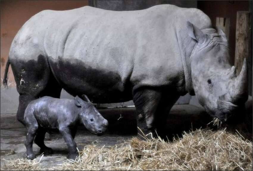 Budapest Zoo's newborn southern white rhinoceros calf, Ceratotherium simum, foreground, is seen with his mother Lulu after his birth in Budapest, Hungary. The calf was born early morning Wednesday without human help and intervention. Due to the brother-sister relationship of the zoo's rhinos, there was no chance for natural breeding. Veterinarians of the Budapest Zoo in co-operation with their colleagues from Germany and Austria used artificial insemination. This was the second successful birth of a rhino in the Budapest Zoo using artificial insemination. (AP Photo/Bela Szandelszky, Pool)