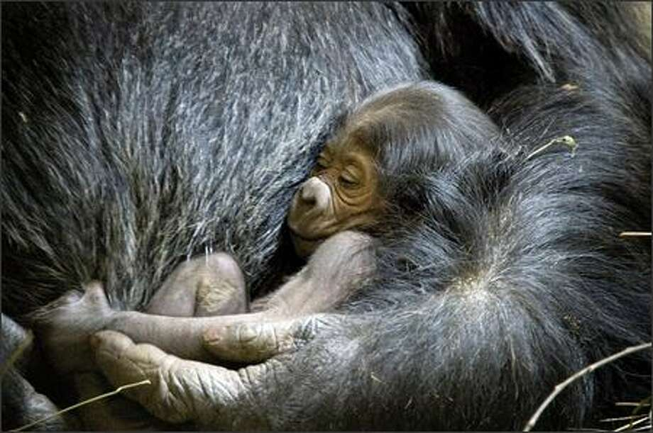 A western lowland gorilla was born Saturday about 3:30 a.m. at Woodland Park Zoo. The newborn represents the twelfth successful gorilla birth for the zoo and the third offspring between 37-year-old Amanda and the father, 28-year-old Vip. (Photo courtesy of Ryan Hawk/Woodland Park Zoo)