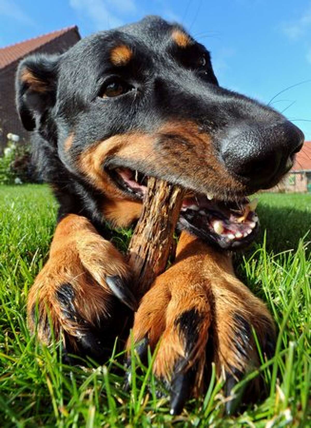 A Beauce shepherd dog plays with a wooden stick in Godewaersvelde, northern France.