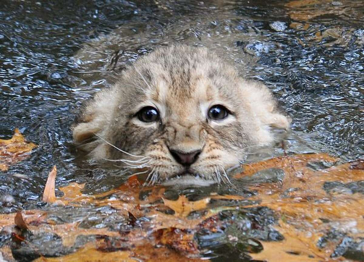 A young lion cub tries to swim in the moat surrounding the lion habitat at the Smithsonian Institution's National Zoo in Washington, DC. The staff at the zoo is conducting swim tests on four cubs, placing the cubs one at a time into the water, to ensure that the cubs can safely maneuver the moat before they are let out into the yard with their mother later this year.