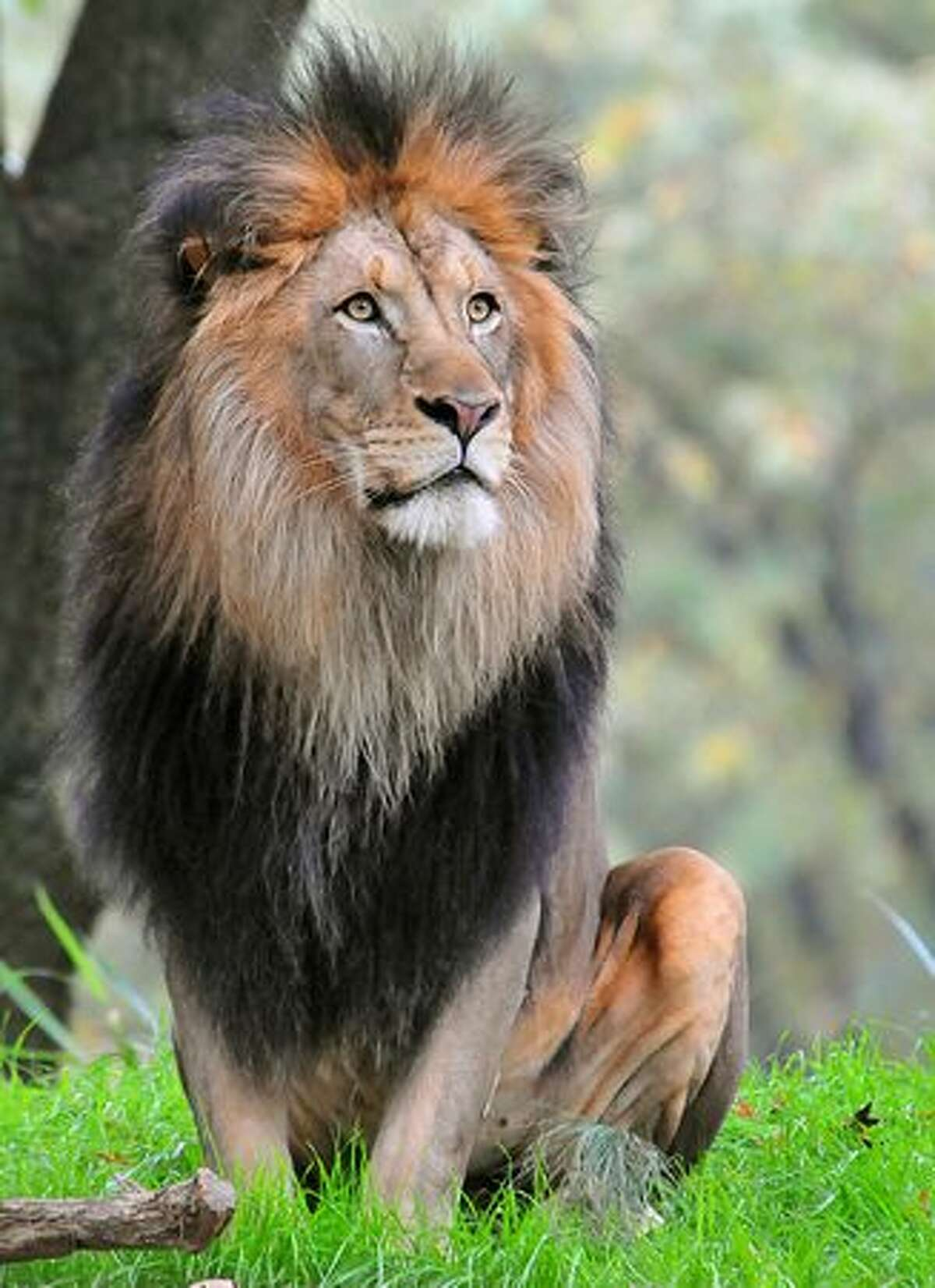 A male lion in its habitat at the Smithsonian Institution's National Zoo in Washington, DC.